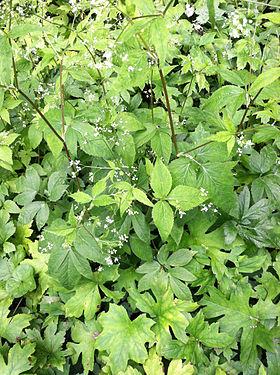 Hydrophyllum canadense SCA-0601.jpg