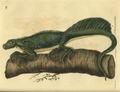 Hydrosaurus pustulatus.jpg