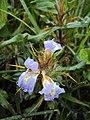 Hygrophila auriculata 03.JPG