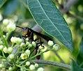 Hymenoptera, Vespidae, Polistinae, Mischocyttarus rotundicollis.jpg