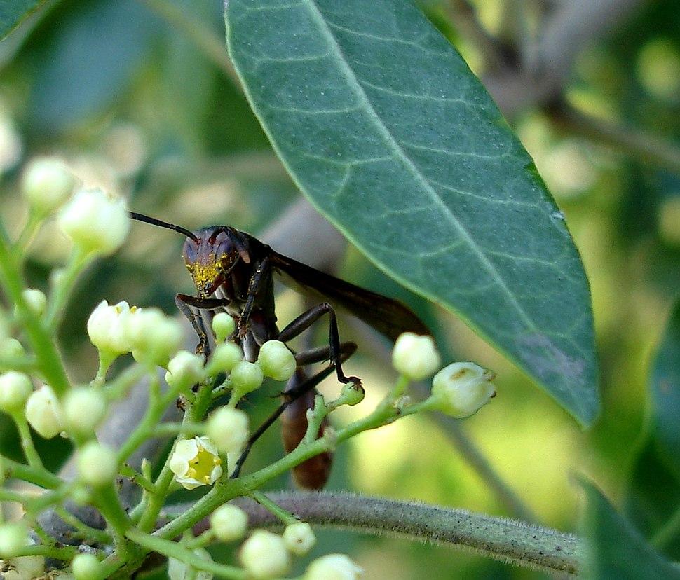 Hymenoptera, Vespidae, Polistinae, Mischocyttarus rotundicollis