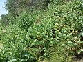 Hyoscyamus niger sl27.jpg