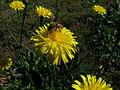 Hypochaeris radicata flowerhead2 (14630478874).jpg
