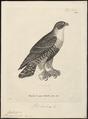 Hypotriorchis aurantius - 1700-1880 - Print - Iconographia Zoologica - Special Collections University of Amsterdam - UBA01 IZ18200189.tif