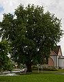 ID 1289 Eiche in Glatzau.jpg