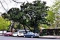 ID 353 Magnolia histórica 5451.jpg