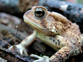 I love the coloring on this toad (5797902344).png