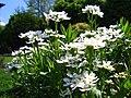 Iberis sempervirens 'Weisser Zwerg' Ubiorek wiecznie zielony 2006-05-03 02.jpg