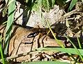 Ichneumon Wasp (32994998124).jpg