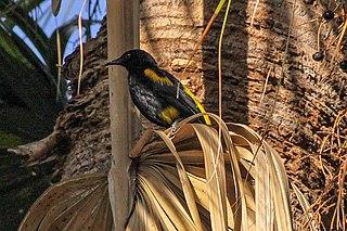 Hispaniolan oriole species of bird