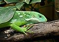 Iguane des Fidji.jpg