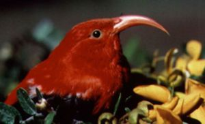 The Living Planet - The ʻIʻiwi is an endemic bird of Hawaii.