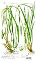 Illustration Molinia caerulea0 bg whitened.png