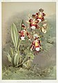 Illustration from Reichenbachia Orchids by Frederick Sander, digitally enhanced by rawpixel-com 049.jpg