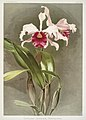 Illustration from Reichenbachia Orchids by Frederick Sander, digitally enhanced by rawpixel-com 143.jpg