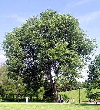 Ulmus americana - Ulmus americana (American elm) at Longwood Gardens, Kennett Square, Pennsylvania