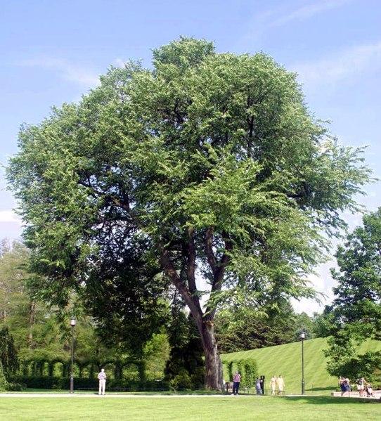 arbre orme d'amerique