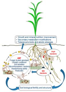 Mycorrhiza helper bacteria Group of organisms