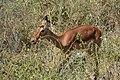 Impala, Tarangire National Park (1) (28101095463).jpg