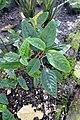 Impatiens hians-Jardin botanique Meise (6).jpg