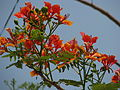 India - bright flowering tree (6321976154).jpg