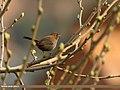 Indian Robin (Saxicoloides fulicatus) (33014409322).jpg