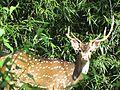 Indian Spotted Deer 01.jpg