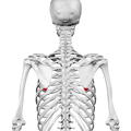 Inferior angle of the scapula01.png