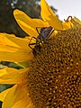 Insects on Sunflower.jpg