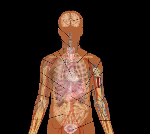 Organ (anatomy) - Wikiwand