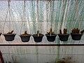 "Iran-qom-Cactus-The greenhouse of the thorn world گلخانه کاکتوس ""دنیای خار"" در روستای مبارک آباد قم- ایران 20.jpg"