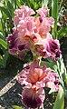 Iris barbata elatior.jpg