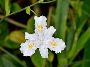 Iris confusa - An Iris confusa flower