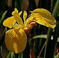 Iris pseudacorus L.jpg