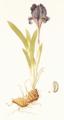 Iris pumila Jacq1.1.png