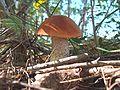 JDX-Leccinum aurantiacum 12.jpg