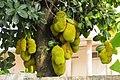 Jack fruit tree 01.jpg