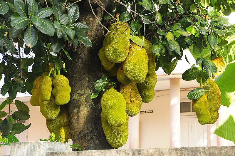File:Jack fruit tree 01.jpg