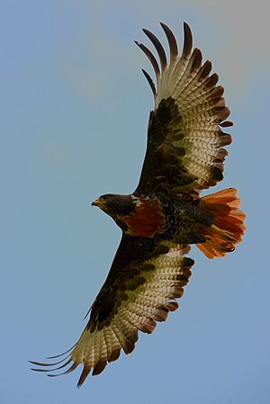 Jackal buzzard - Taking flight near Greyton, South Africa