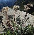 Jacobaea incana subsp carniolica RF.jpg