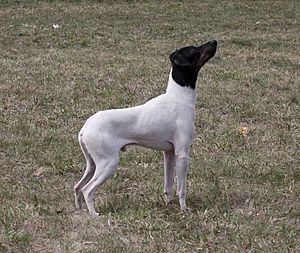 Peekapoo Dog Pictures