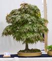 Japanischer Fächerahorn Bonsai ca. 24 Jahre.png