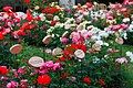 Jardin de rosas.jpg