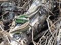Jaszczurka zwinka kopulacja 03.jpg