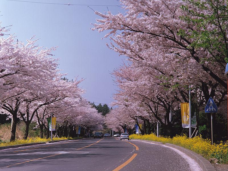 festivals printaniers incontournables en Corée : Festival des Cerisiers Royaux de Jeju ©wikimedia