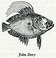 John Dory Eliza Acton.jpg