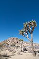 Joshua Tree (4205239150).jpg