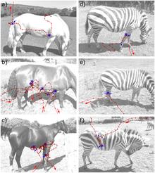 Comparación de las trayectorias de vuelo de los tábanos en caballos y cebras