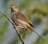 Jungle Prinia (Prinia sylvatica) in Hyderabad, AP W IMG 1328.jpg