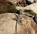 Juvenile Basilisk Lizard (Basiliscus basiliscus) - Flickr - gailhampshire.jpg